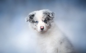 Picture house, dog, puppy, The border collie