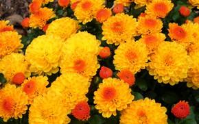 Picture autumn, orange, chrysanthemum