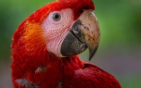 Picture background, bird, feathers, parrot, red, bokeh, Scarlet Macaw