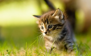 Picture cat, summer, grass, mustache, look, light, nature, pose, kitty, grey, portrait, blur, small, baby, muzzle, …