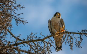 Picture light, branches, pose, tree, bird, paws, claws, Falcon, view, pine, blue sky