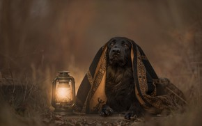 Picture look, light, nature, dog, blanket, lantern, black, lies, plaid, twilight, Cape, brown background