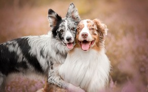 Picture language, dogs, summer, happiness, nature, pose, background, portrait, friendship, pair, a couple, Duo, friends, two …