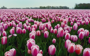 Picture flowers, striped, a lot, plantation, trees, tulips, pink and white, Tulip field, field, spring, pink, …