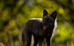 Picture language, look, face, nature, paws, Fox, black, green background, Fox, bokeh, Fox, silver, silver Fox