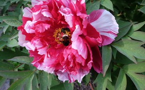 Picture bee, spring, peony