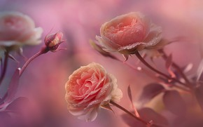 Picture drops, macro, flowers, Rosa, background, roses