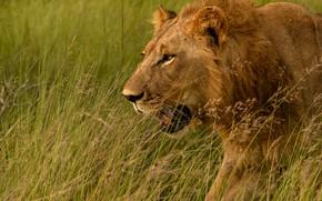 Picture grass, face, Leo, Savannah, wild cat