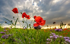 Picture greens, field, summer, the sky, clouds, flowers, clouds, Mac, Maki, meadow