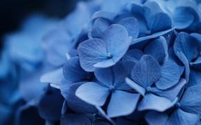 Picture macro, flowers, blue, blue, bokeh, hydrangea