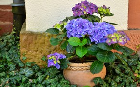 Picture summer, leaves, flowers, wall, garden, pot, lilac, patio, hydrangea, ivy