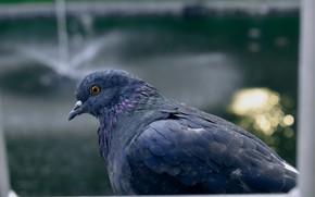Picture Macro, Dove, Birds, Wallpaper, Blue