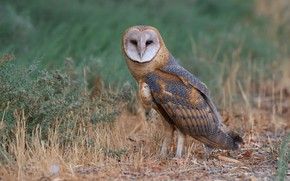 Picture nature, owl, bird, the barn owl