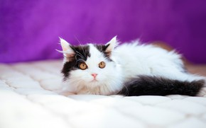 Picture cat, look, pose, kitty, black and white, baby, blanket, kitty, lilac background