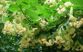 Picture Leaves, Branch, Flowering, Linden