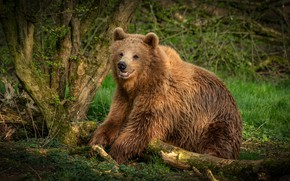 Picture forest, summer, grass, look, nature, pose, tree, bear, bear, snag, young, brown
