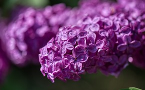 Picture purple, tree, spring, garden, flowering, flora