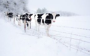 Picture winter, snow, the fence, cows