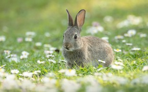 Picture summer, flowers, grey, glade, hare, chamomile, spring, rabbit, Bunny, rabbit, Daisy, hare