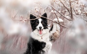 Picture nature, animal, dog, branch, spring, flowering, dog, the border collie, Ekaterina Kikot