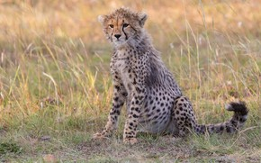 Picture grass, glade, Cheetah, sitting, cub