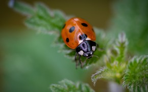Picture leaves, macro, ladybug, beetle, blur, insect, green background