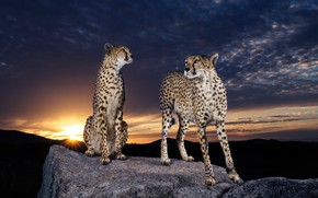 Picture the sky, the sun, clouds, sunset, night, clouds, nature, pose, darkness, stones, background, pair, Cheetah, …