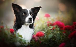 Picture face, flowers, portrait, roses, dog, bokeh, The border collie