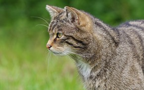 Picture cat, cat, face, grey, profile, striped, wild, forest, wild cat