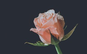 Picture drops, macro, background, black, rose, Bud