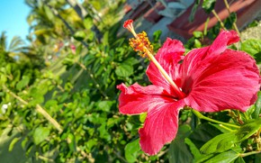 Picture flower, background, Sunny, hibiscus
