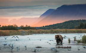 Picture forest, water, mountains, birds, fog, dawn, shore, seagulls, morning, bear, bathing, pond