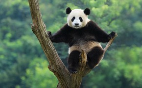 Picture branches, nature, pose, green, background, tree, small, baby, bear, bear, Panda, bear, sitting, on the …