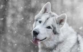 Picture winter, language, look, face, snow, wolf, dog, mouth, grey, light background, snowfall, breed, bokeh, wolf