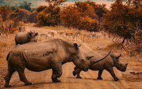 Picture road, autumn, nature, Africa, walk, rhinos