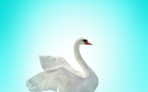 Picture swan, bird, lake