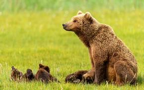 Picture grass, stay, glade, bear, bears, profile, kids, bears, sitting, mom, lie, bear