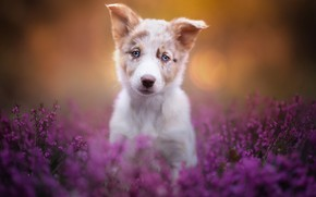 Picture look, dog, puppy, face, Heather, The border collie