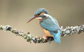 Picture background, bird, moss, branch, bird, sitting, Kingfisher, bright plumage, bird
