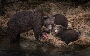 Wallpaper autumn, grass, look, river, fishing, predators, fish, bear, three, bear, kids, bears, two, lunch, mining, ...