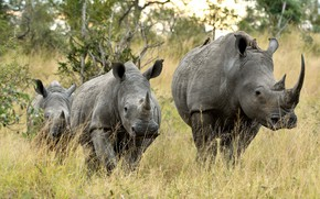 Picture rhinos, group, nature