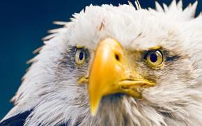 Picture bird, beak, bald eagle