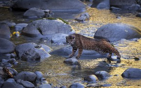 Picture water, river, stones, lynx