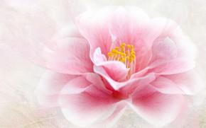 Picture flower, macro, pink, treatment, petals, Camellia