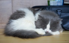 Picture cat, kitty, table, sleep, sleeping, lies, bag, kitty, grey with white
