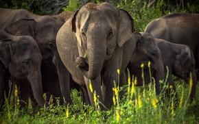 Picture the herd, Sri Lanka, Asian elephant