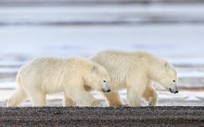 Picture pebbles, shore, bears, pair, bear, walk, bears, polar bear, two, pond, polar bears