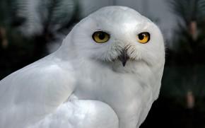 Picture look, the dark background, owl, bird, portrait, white, polar, snowy owl