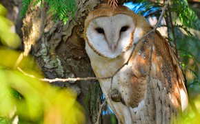 Picture branches, owl, bird, the barn owl