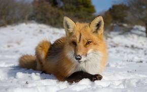 Picture winter, face, snow, portrait, Fox, lies